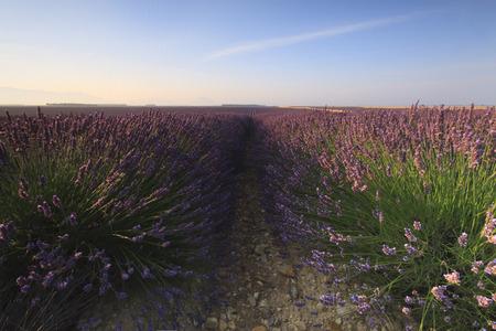 herbs de provence: Sunrise over a lavender field, Valensole, Provence, France Stock Photo