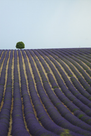 herbs de provence: Lonely tree on a lavender field Stock Photo