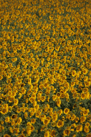 Sunflowers closeup, Valensole, Provence, France photo