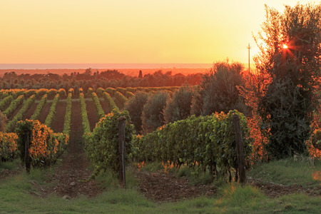 Sunset in a vineyard, Tuscany - Italy