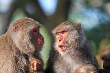 Monkeys in Shoushan, Monkey Mountain in Kaohsiung city, Taiwan