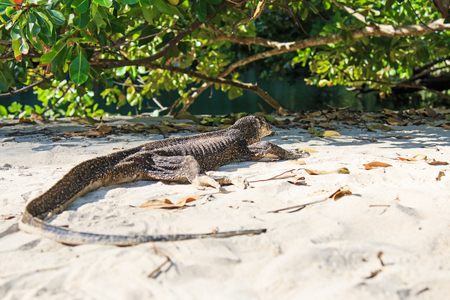 palawan: Lizard on a beach of the Philippines, Palawan water monitor