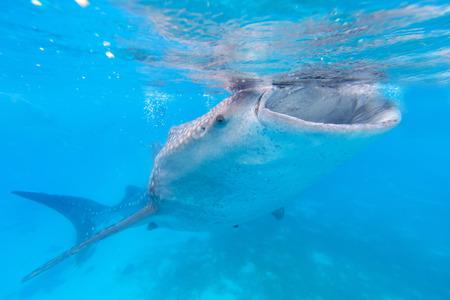 whale shark: Whale shark in the Philippines, Oslob