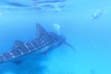 whale shark: Oslob, Philippines - January 22,2015 : Man snorkeling with a whale shark in Oslob, Philippines