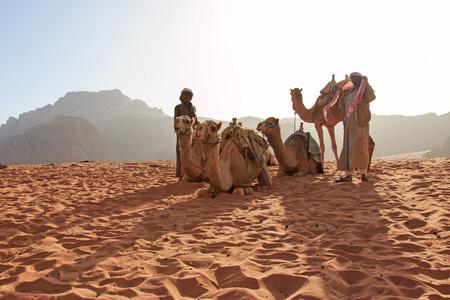 animales del desierto: Wadi Rum, Jordania - Marzo 24,2015: beduinos preparan los camellos para el turista que va a montar ellos al atardecer en el desierto de Wadi Rum, Jordania Editorial