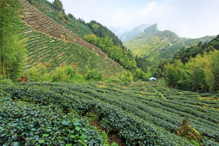 oolong tea: Oolong Tea plantation in Taiwan