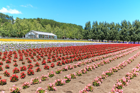 Furano, Japan - July 8,2015: flowers of the Tomita farm in Hokkaido with some tourists on background.