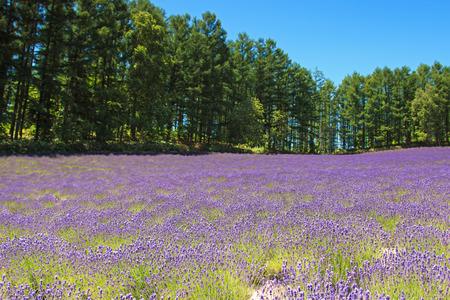 Lavender field in Furano, Hokkaido
