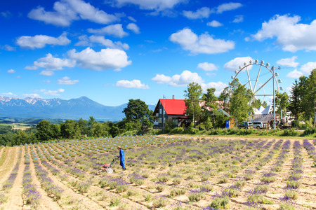 Furano, Japan - July 8,2015: Farmer working in a lavender field in Furano and panoramic wheel on background