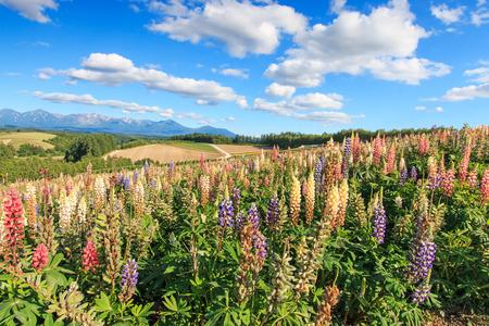 Flower garden in Kamifurano, with mountain view in Furano, Hokkaido Japan