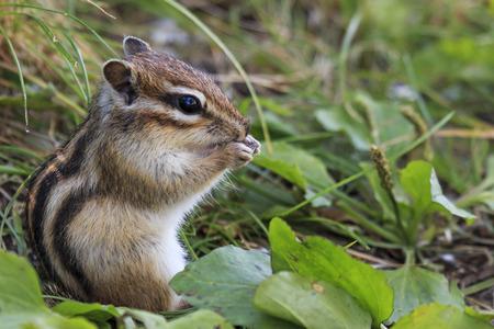 ardilla: ardilla salvaje que se sienta en la hierba que come el cacahuete