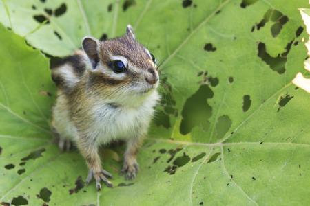ardilla: ardilla salvaje en Hokkaido, Japón