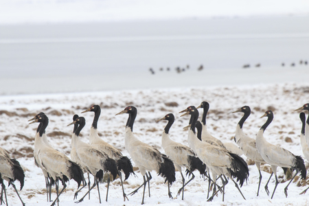 necked: Black necked crane Grus nigricollis on Da Shan Bao in Yunnan China Stock Photo
