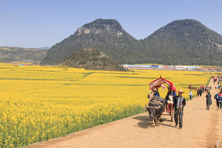 landscape flowers: Luoping, China - February 28, 2016: Man riding a waterbuffalo for the tourists among the rapeseed flowers fields of Luoping in Yunnan China .