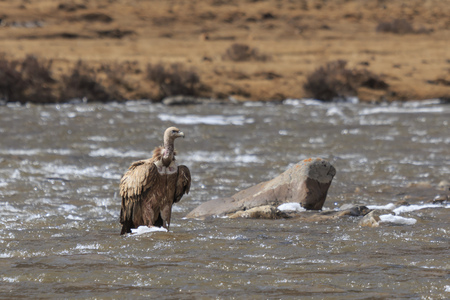 Group of Griffon Vulture (Gyps fulvus) in SiChuan, China