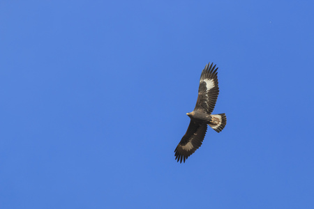 Golden Eagle (Aquila chrysaetos) flying over a mountain cliff in SiChuan, China 版權商用圖片