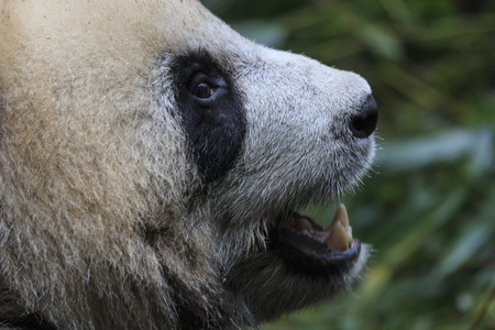 Close up of a Giant Panda (Ailuropoda melanoleuca) in Chengdu - Sichuan, China Stock Photo