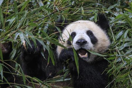 Close up of a Giant Panda (Ailuropoda melanoleuca) in Chengdu - Sichuan, China Stock fotó