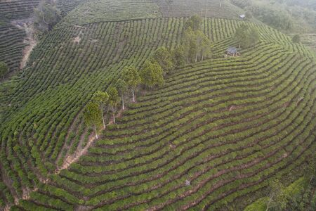 Aerial view of a Pu'er (Puer) tea plantation in Xishuangbanna, Yunnan - China Stock Photo