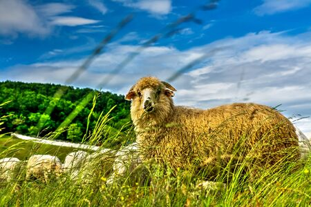 ovine: Yellow sheep with rich wool.