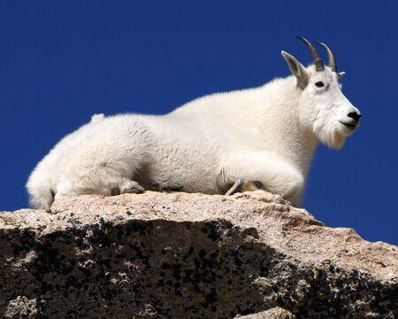 cabra montes: Mountain Goat