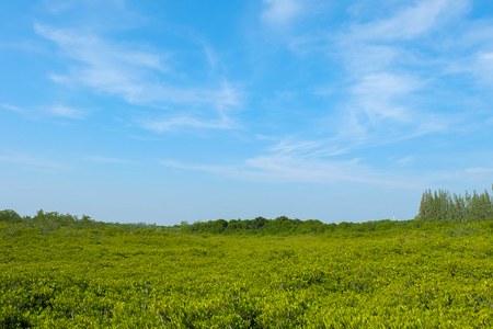 mangrove Tree with blue sky