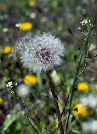 dandelion field: photographed in sunny dandelion field