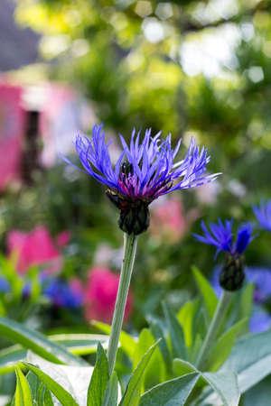 garden cornflowers: blue cornflowers in spring flower garden Stock Photo