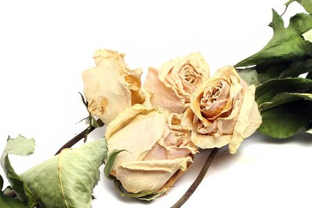 green plants: Beige dried roses on a white background