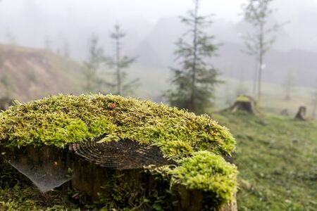 moss: stump covered with moss misty morning