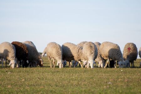 Sheeps photo