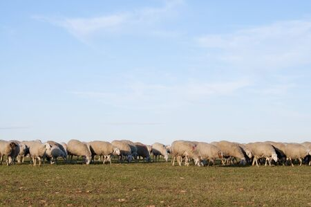 Sheeps Stock Photo - 4365291