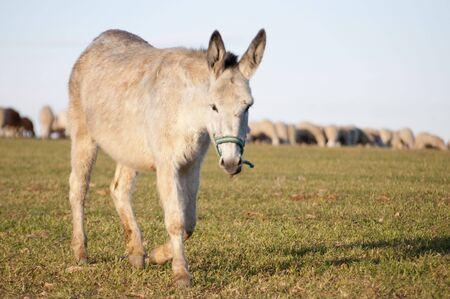 Imagen de burros con ovejas en buen paisaje. Foto de archivo - 4483560