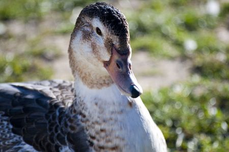 Image of a duck in river. Wild life from spain Stock Photo - 4483240
