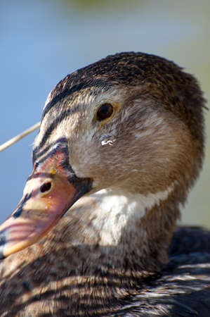 Image of a duck in river. Wild life from spain Stock Photo - 4483642