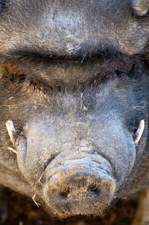 Picture of a vietnamese pig, big animal photo