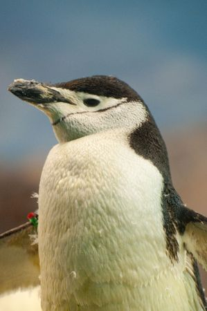 Picture of a penguin. Nice hair and beak Stock Photo - 4528825