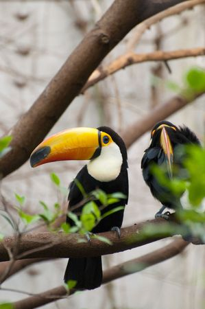 Picture of a tucan with nice colors. photo