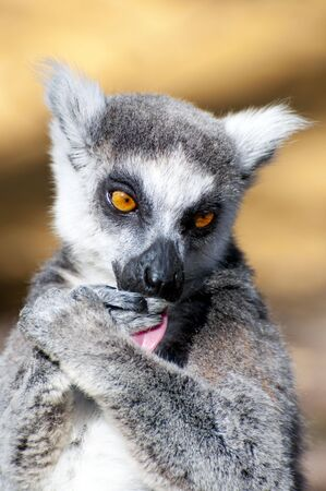Picture of a nice lemur with beautiful eyes and skin. photo