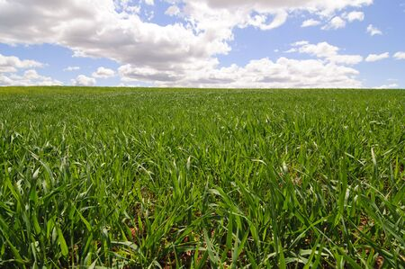 Picture of a wheat field from spain. photo
