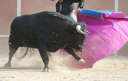 animal cruelty: Fighting bull picture from Spain. Black bull