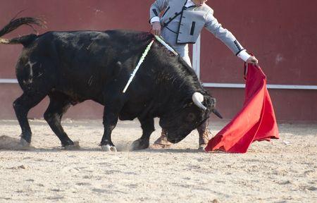 bullfight: Fighting bull picture from Spain. Black bull
