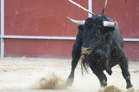 corrida: Lutte image taureau d'Espagne. Black Bull