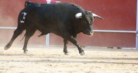 bull fighting: Fighting bull picture from Spain. Black bull