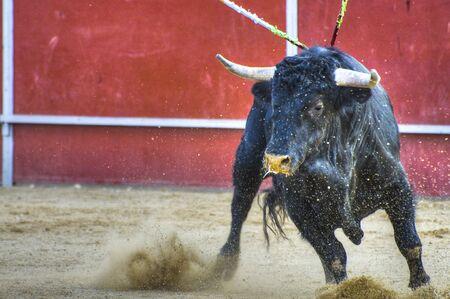 bullfight: Combate imagen de Toro, de Espa�a. Toro negro