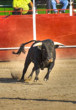 fight arena: Fighting bull picture from Spain. Black bull