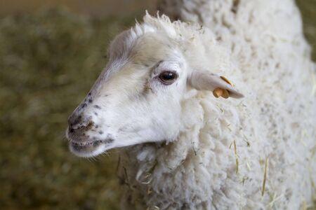 A young sheep photo