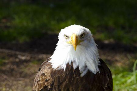 haliaeetus leucocephalus: American Bald Eagle (Haliaeetus leucocephalus)