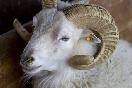 A sheep with horns photo