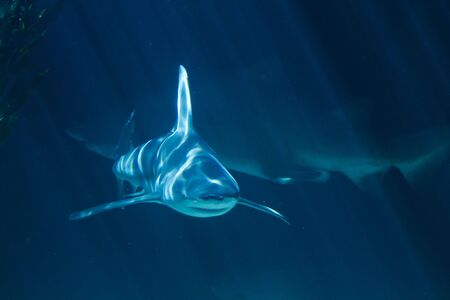 A white shark swimming along underwater Stock Photo - 6781953